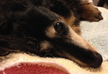 Teldra is a paralyzed dachshund who is in need of spinal surgery.